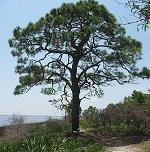 Elliotti pine